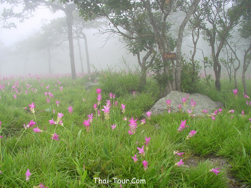 http://www.thai-tour.com/thai-tour/northeast/chaiyaphum/data/place/kragiao/large_pic/kragiao_field.jpg